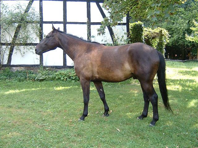 Pferde Paavo der Rheinländer